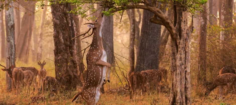 Sariska –Morning Safari- Jaipur (130Kms)